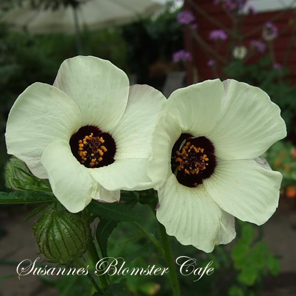 Hibiscus trionum 'Simply Love' - Timeviser - frø