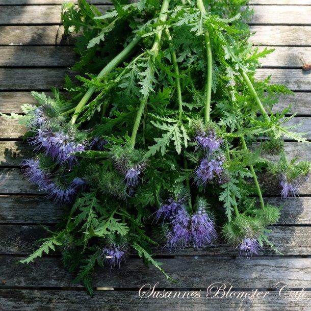 Phacelia – Honningurt - til skære haven – frø
