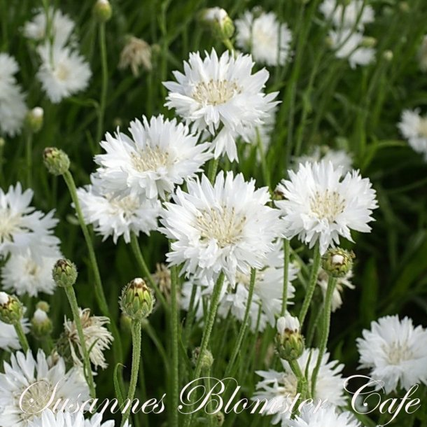 Centaurea cyanus Snowman - hvid kornblomst - frø
