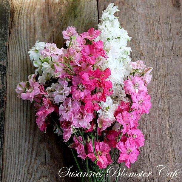 Larkspur Pink Foam - Sommer Ridderspore - frø