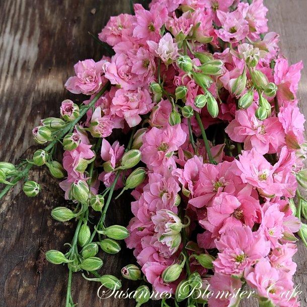 Larkspur Limelight Rose - Sommer Ridderspore - frø
