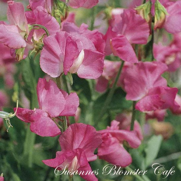 Lathyrus odoratus Elegance Rose - frø