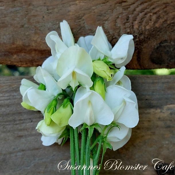 Lathyrus odoratus  Royal White - Ærteblomst - frø