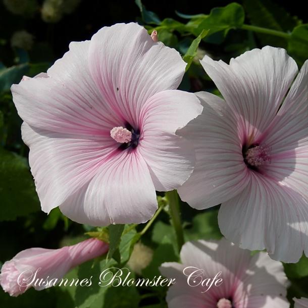 Lavatera trimestris - 'Pink Blush' - Mamelukærme - frø