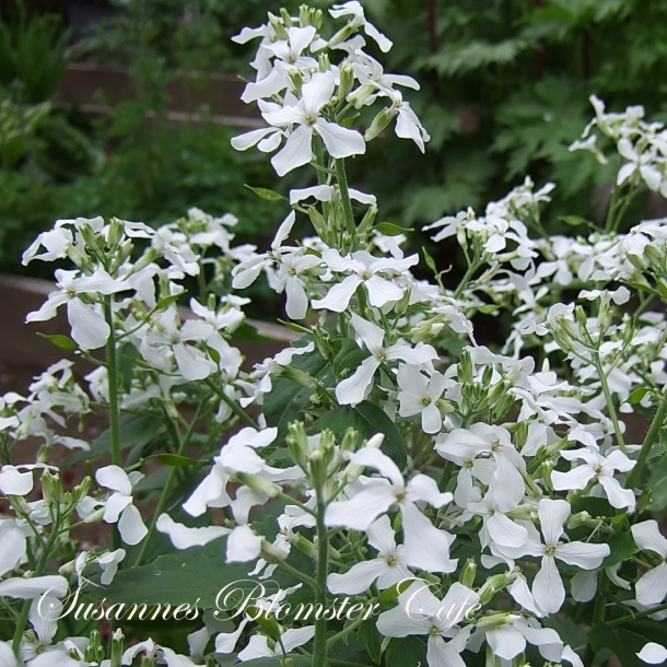 Lunaria annua Alba - Judaspenge - hvid - frø