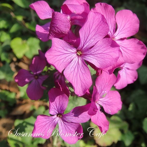 Lunaria annua - Judaspenge - lilla - frø