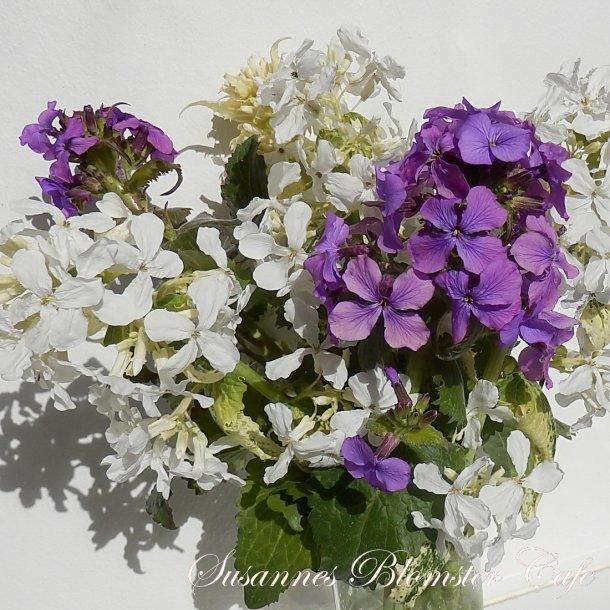 Lunaria annua - Judaspenge - hvid og lilla mix- frø