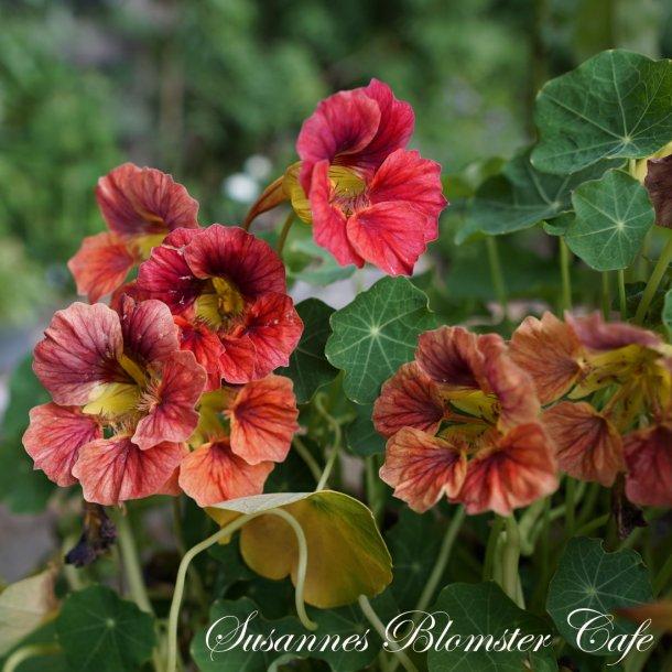 Nasturtium - Ladybird Rose - Tallerkensmækker