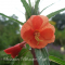 Oenothera versicolor 'Sunset boulevard' - Natlys - frø