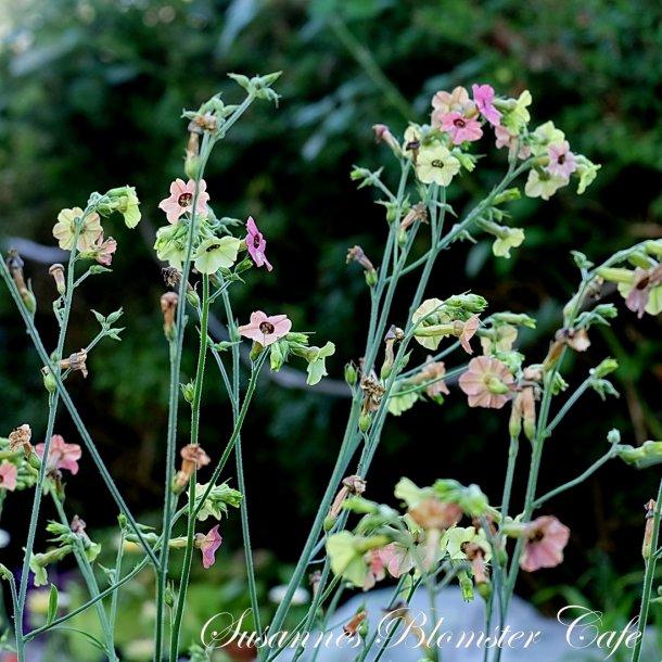 Nicotiana mutabilis Marshmallow - Tobaksplante - frø