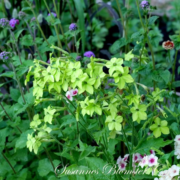 Nicotiana Perfume Lime - Tobaksblomst - frø