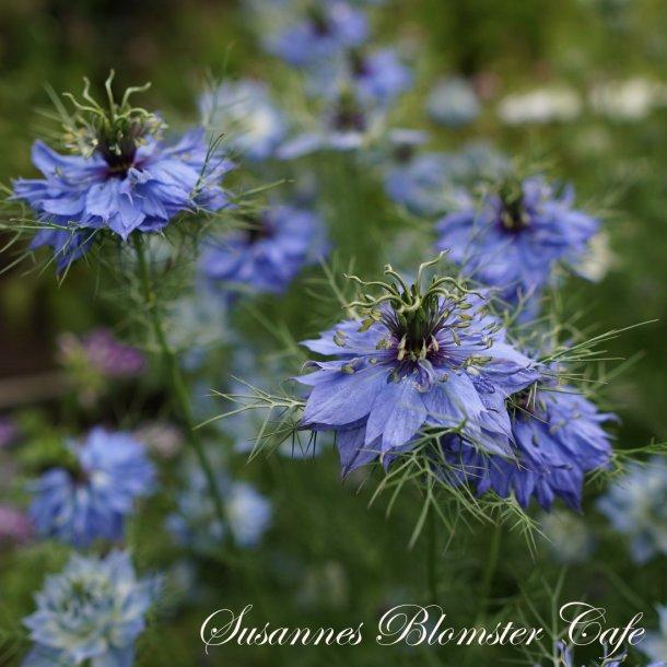 Nigella damascena - Miss Jekyll Dark Blue - frø