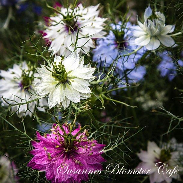 Nigella damascena - MIX- frø