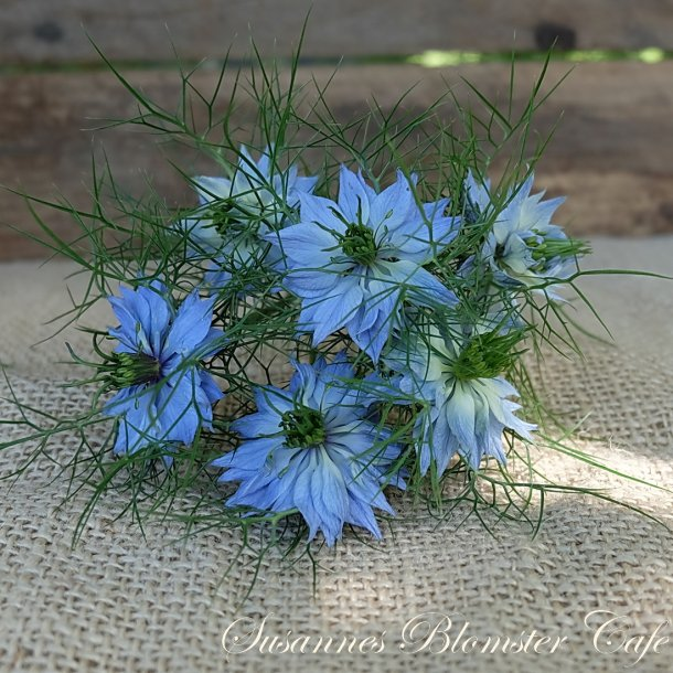 Nigella damascena - Miss Jekyll Skyblue - frø