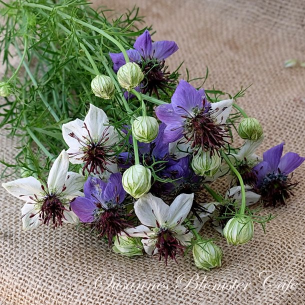 Nigella hispanica MIX - frø