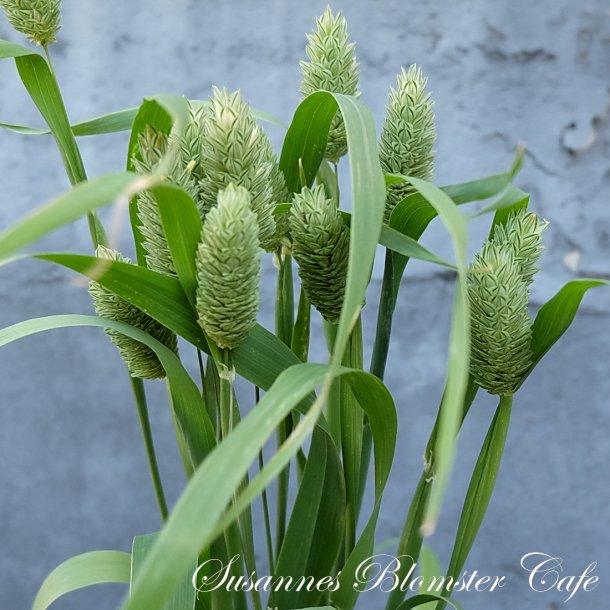 Phalaris canariensis - Canary Grass - frø
