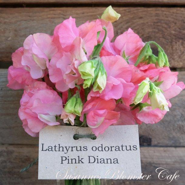 Lathyrus odoratus Pink Diana - Ærteblomst - frø