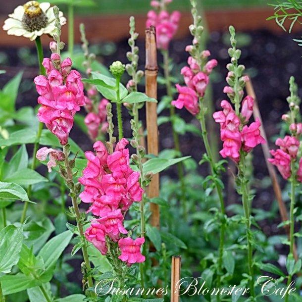 Antirrhinum majus Potomac Cherry Rose - Løvemund - frø