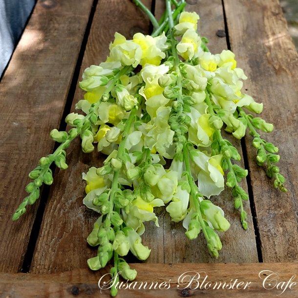 Antirrhinum majus Potomac Soft Yellow - frø