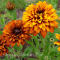 Rudbeckia hirta - Morrcocan Sun - Håret Solhat - frø