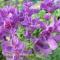 Salvia viridis 'Blue' - blå dusksalvie - frø