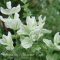 Salvia viridis 'White Swan' - hvid dusksalvie - frø