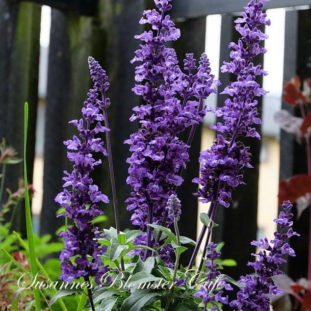 Salvia farinacea Victoria Blue - frø