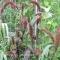 Setaria Italica 'Red Jewel' - hirse - frø