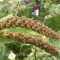 Setaria Italica Highlander - hirse - frø