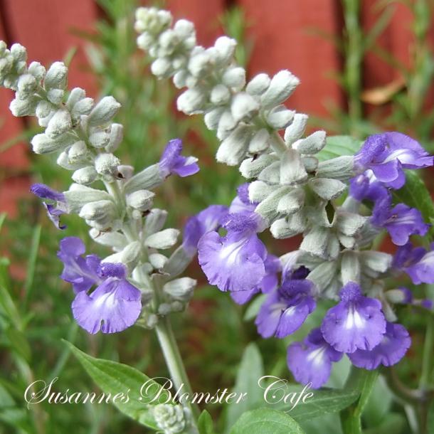 Salvia farinacea 'Strata' - Texas salvie - frø