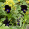 Viola 'Bowlers Black' - frø