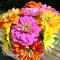 Zinnia elegans Giant Dahlia Flowered - frø
