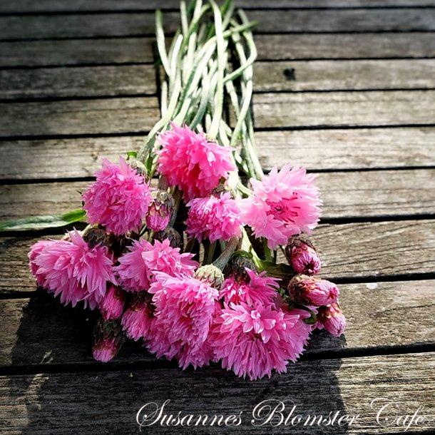 Centaurea cyanus Pinkie - Lyserød Kornblomst  - frø