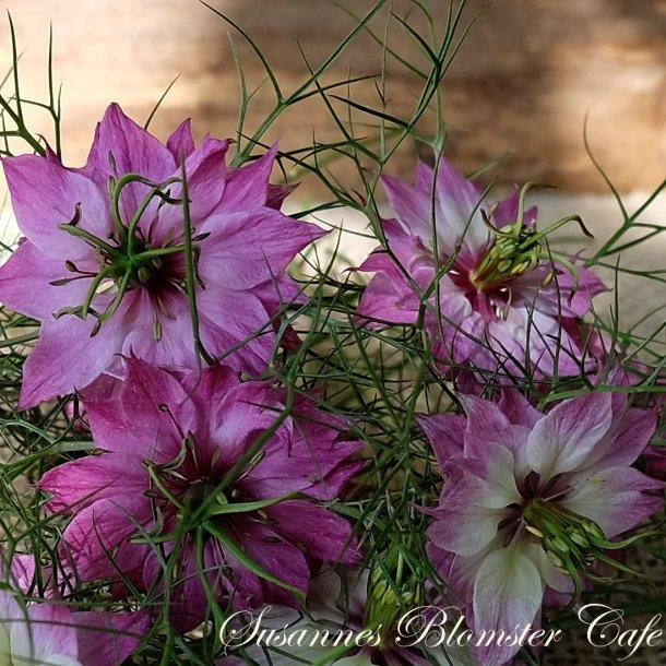 Nigella damascena – Miss Jekyll Rose – frø.