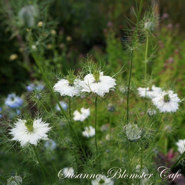Nigella damascena – Miss Jekyll White - Hvid – frø