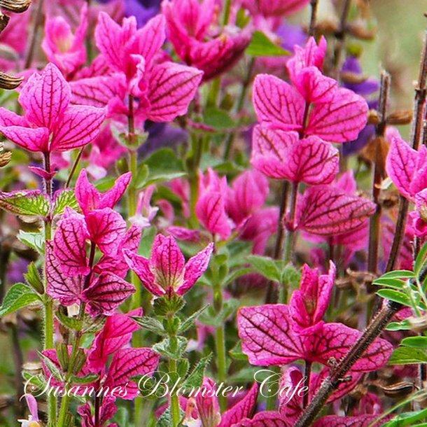 Salvia viridis 'Pink Sunday' - pink dusksalvie - frø