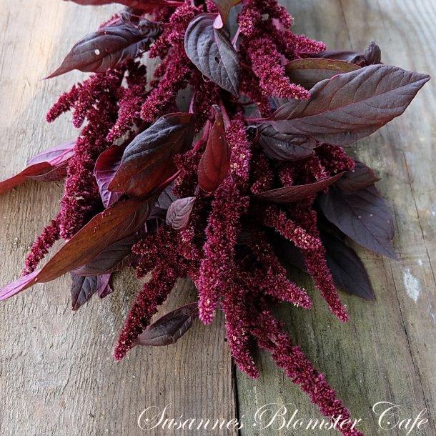Amaranthus cruentus Red Army - frø