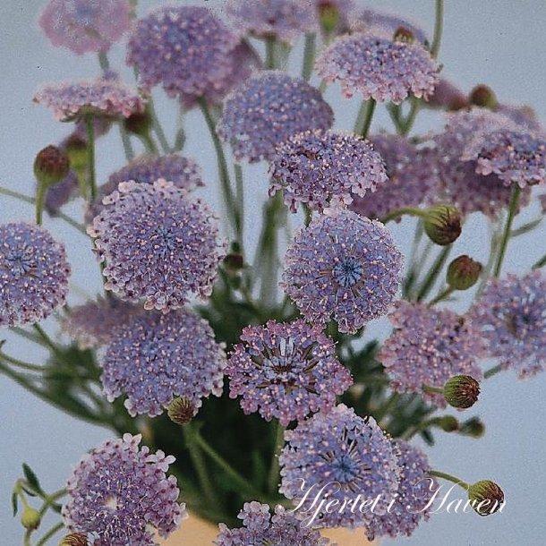 Didiscus caeruleus MIX - Kniplingeblomst - frø