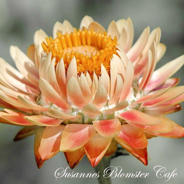 Helichrysum bracteatum  - Salmon Rose - Evighedsblomst - frø