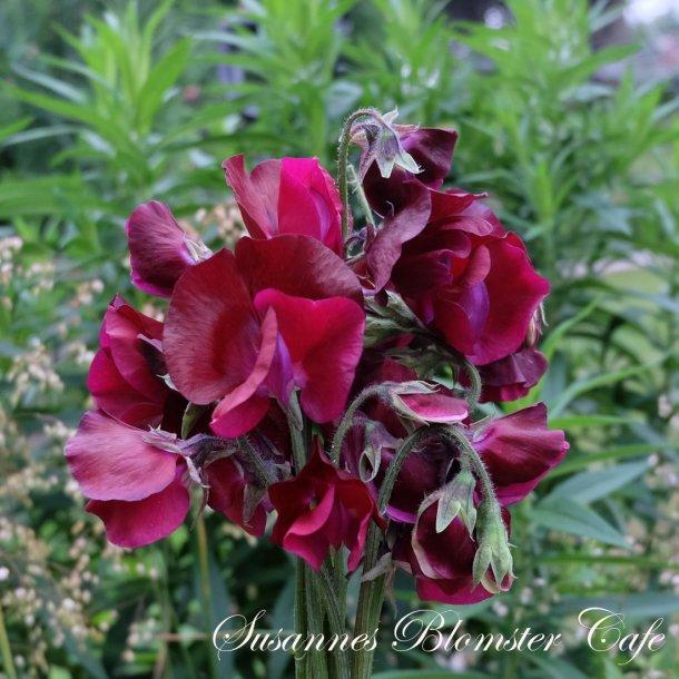 Lathyrus odoratus Sunshine Burgundy -Ærteblomst - frø