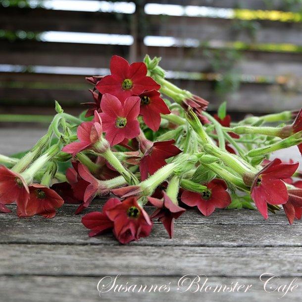 Nicotiana Baby Bella - Tobaksplante - frø
