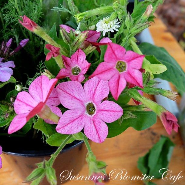 Nicotiana alata Bright Rose - Tobaksblomst - frø
