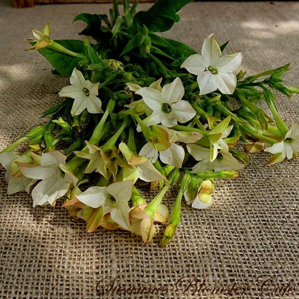 Nicotiana Perfume White - Tobaksblomst - frø