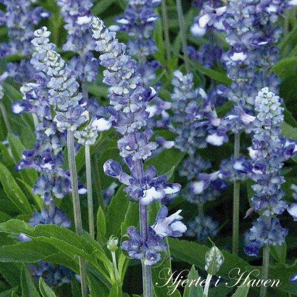 Salvia farinacea Fairy Queen - frø
