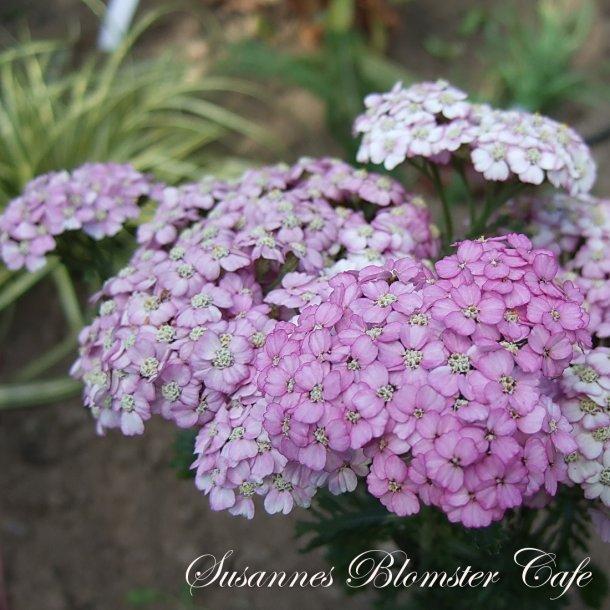 Achillea millefolium Cerise Queen - frø