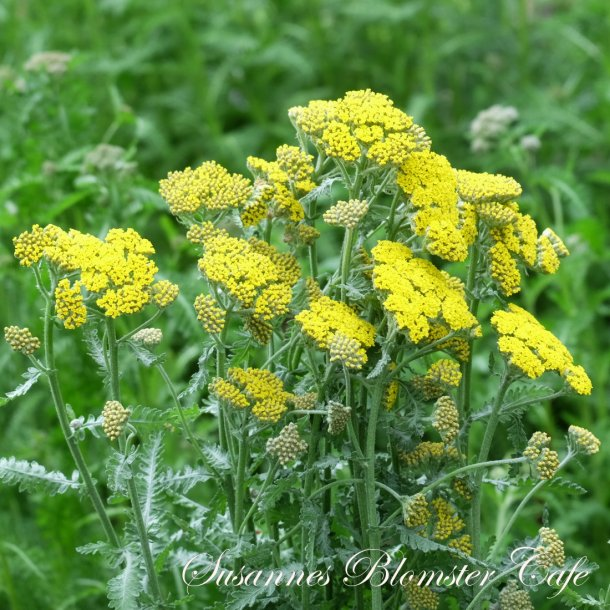 Achillea millefolium - Cloth of Gold - frø
