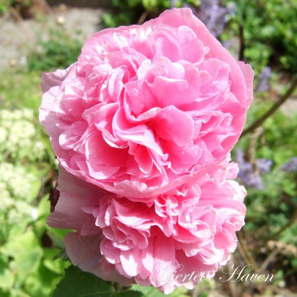 Alcea rosea 'Charters Double Rose' - Stokrose frø