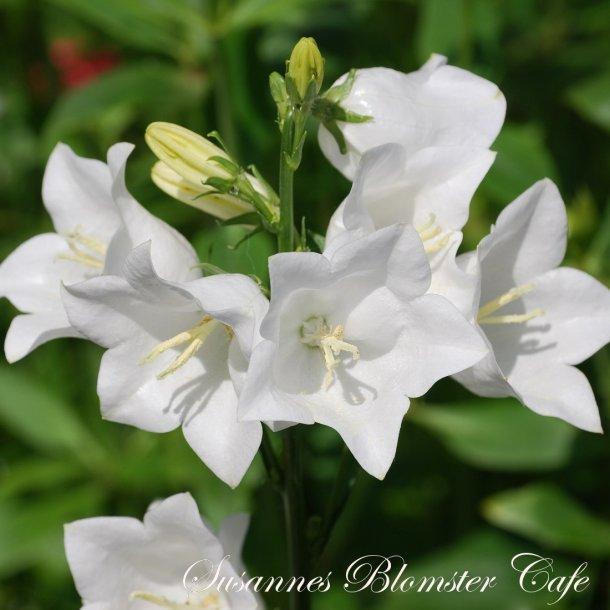 Campanula persicifolia -Smalbladet klokkeblomst - White - frø