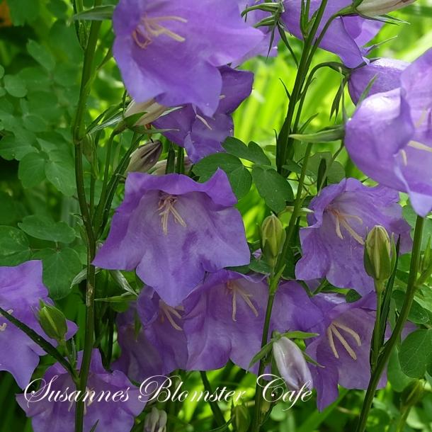 Campanula persicifolia -Smalbladet klokkeblomst - Blue - frø