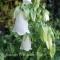 Campanula punctata 'White' - Klokkeblomst - frø